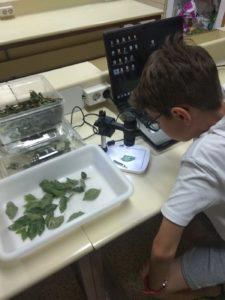 Alumno observando con USB microscopio los huevos de la galeruca y su ciclo de vida.