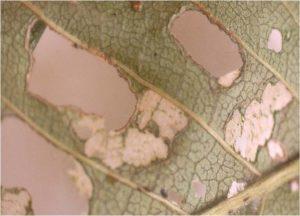 Tipos de ataque a las hojas por adultos y larvas.